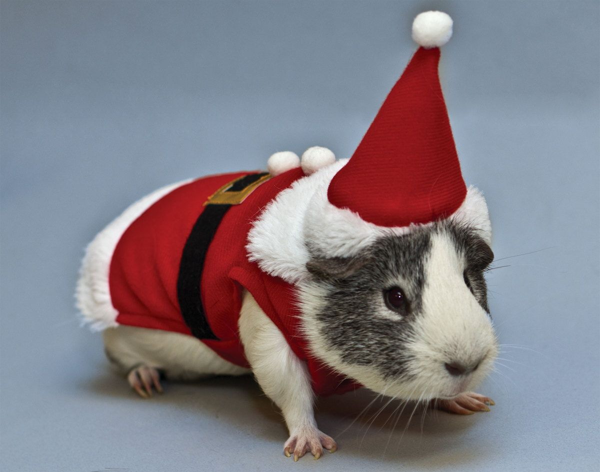 This guinea pig is ready for Christmas!