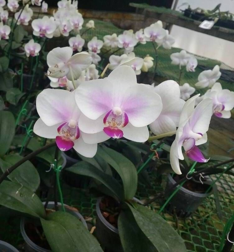 Phal Y0050 Phalaenopsis Orchid Orchids Flower Arrangements Phalaenopsis Orchid