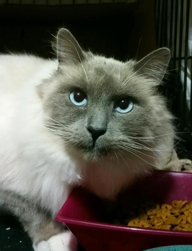 Adopt Frosty Foster needed! on Cats, Cat adoption