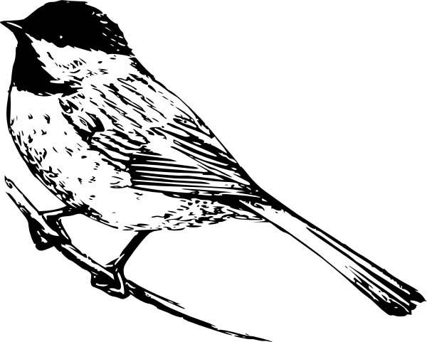 Chickadee Realistic Drawing Of A Coloring Page