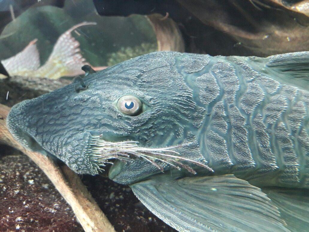 Royal Pleco L27 Freshwater Aquarium Fish Tropical Fish Aquarium Aquarium Fish