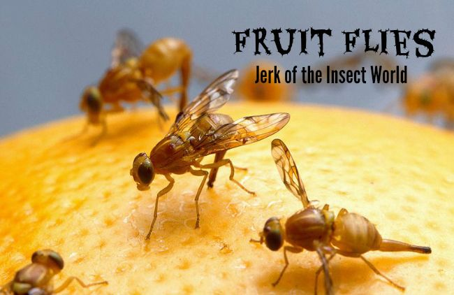 Fruit Flies How To Deal With The Jerk Of The Insect World Without Losing Your Mind Fruit Flies Fruit Fly Trap Homemade Fruit Fly Trap