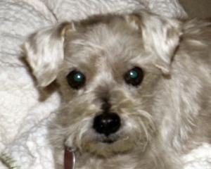 Petdetail Petfinder Yorkie Dogs Yorkie Dog Adoption