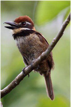 Chestnut-capped Puffbird, Bucconidae macrodactylus, northwestern S.A.