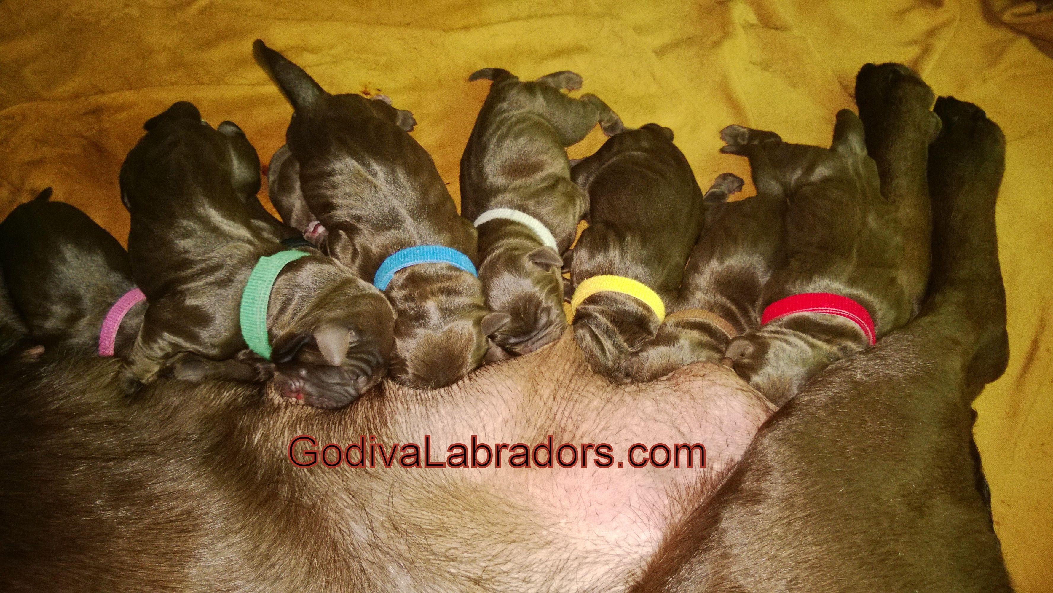 Newborn Puppies 4 Days Old Chocolate Lab Puppies Akc Chocolate