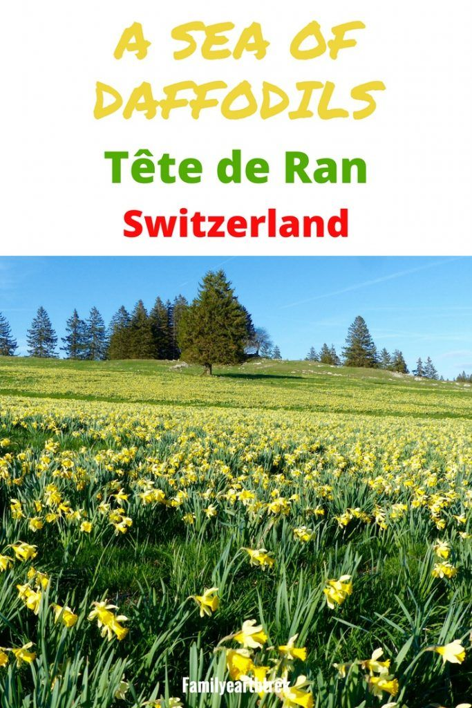Hiking to A sea of Daffodils in Tête de Ran, Switzerland is part of Hiking To A Sea Of Daffodils In Tete De Ran Switzerland - Hills covered of Daffodils as far as the eyes can see  What more are there to say  I am always in search of hikes around wild flower meadows in Switzerland and how happy wasn't I when I found…