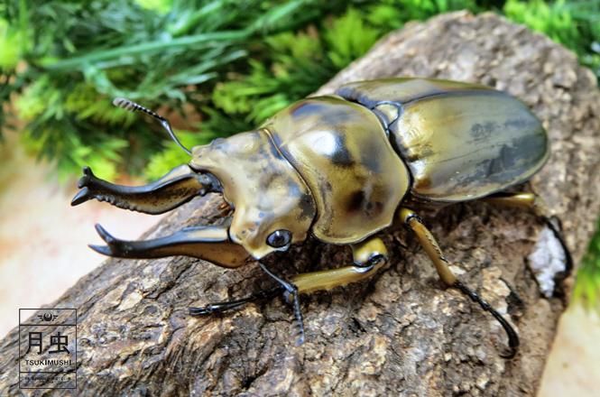 オウゴンオニクワガタの飼育に挑戦 黄金のクワガタを育ててみよう 月虫 虫 カブトムシ クワガタ 昆虫アート