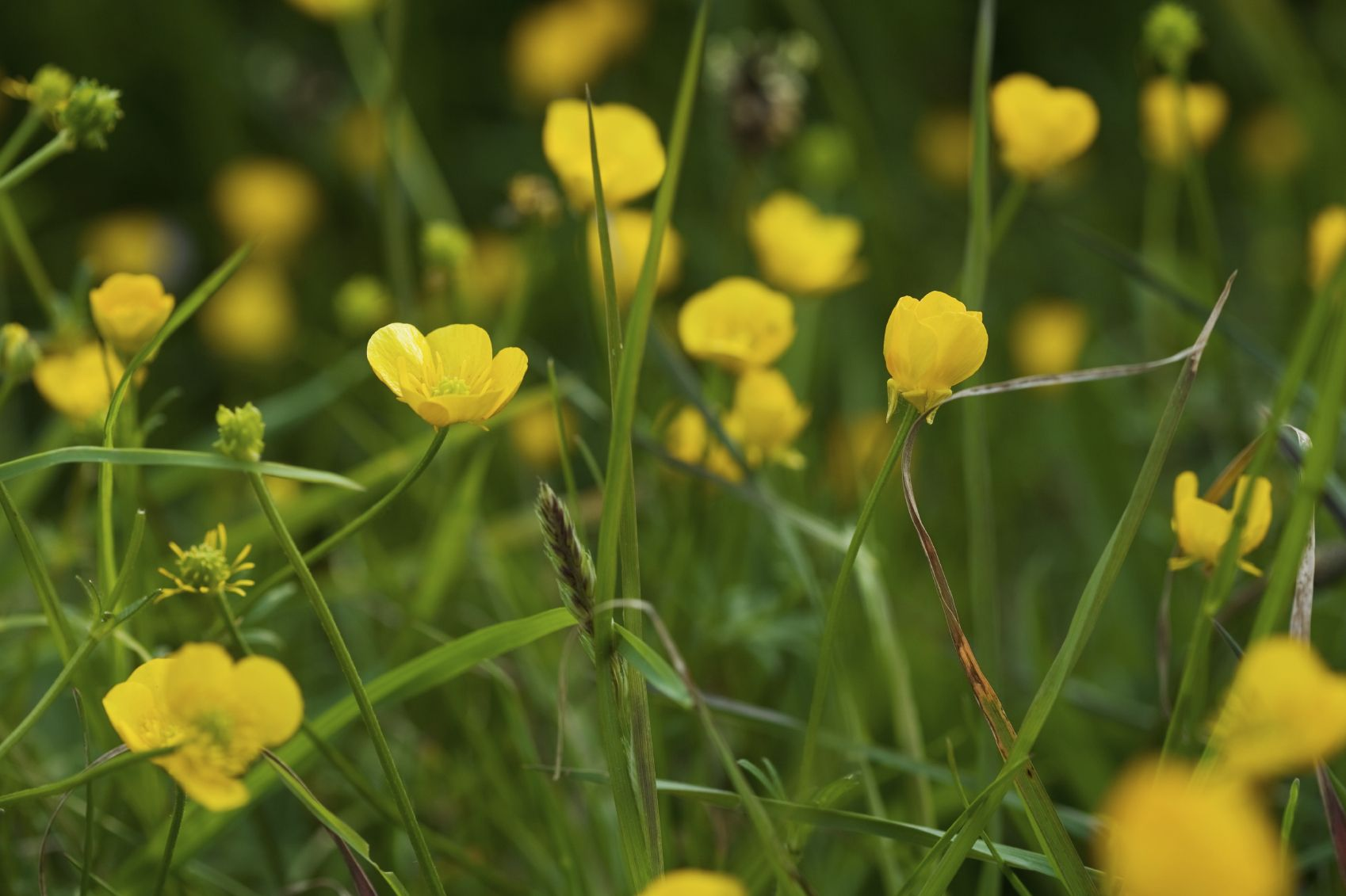 Buttercup Weed Information Tips For Controlling Buttercup Weeds