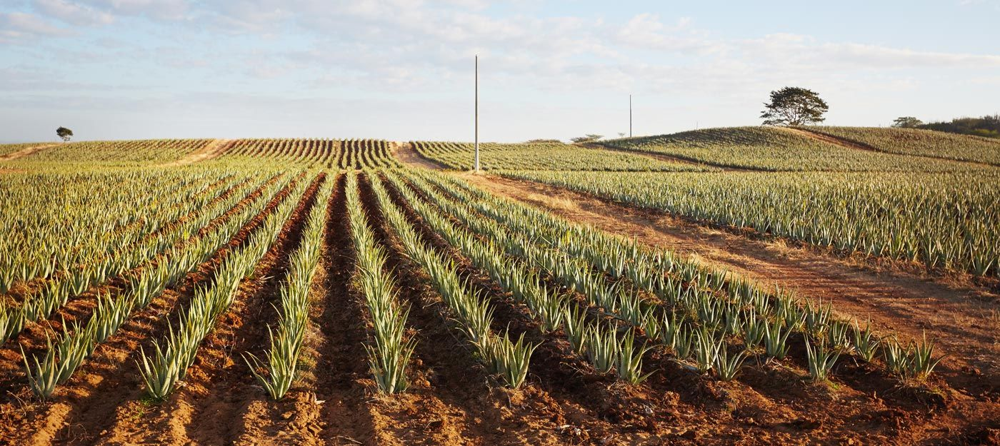 Dominican republic aloe field forever living business