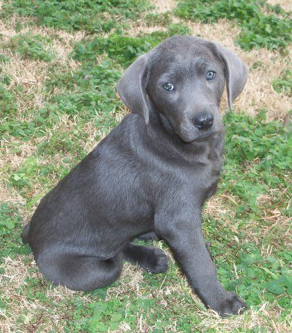 Golden Retriever Weimaraner Puppy