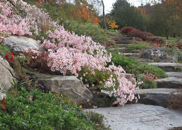 Hillside Sheffield Pink' chrysanthemums trail down a slope in the perennial garden near stone steps. Description from pinterest.com. I searched for this on bing.com/images