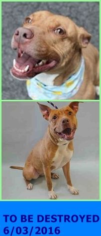SAFE 6-4-2016 by Rebound Hounds --- Manhattan Center  My name is ULA. My Animal ID # is A1074632. I am a spayed female brown and white am pit bull ter mix. The shelter thinks I am about 2 YEARS old.  I came in the shelter as a STRAY on 05/22/2016 from NY 10033, owner surrender reason stated was STRAY. http://nycdogs.urgentpodr.org/2016/05/ula-a1074632/