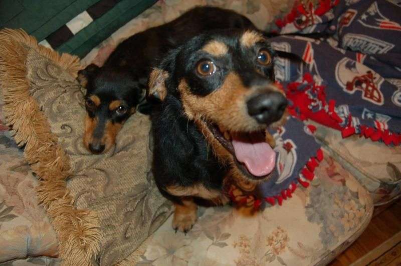 Adopt George On Dachshund Rescue Dachshund Dog Dogs