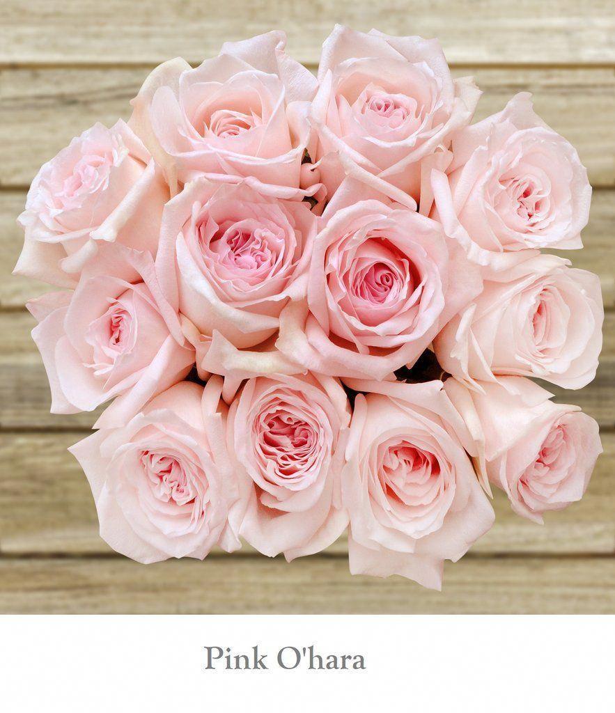 Pink O Hara Blush Light Pink Garden Rose With Ruffled Petals