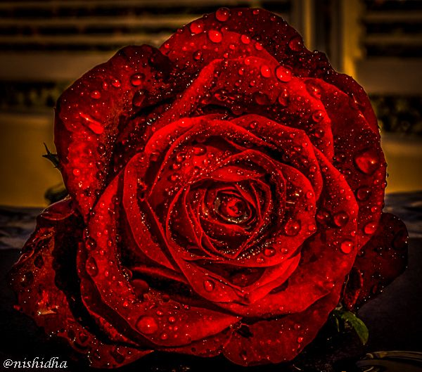 Medicinal Uses Of Rose Flowers Rozy