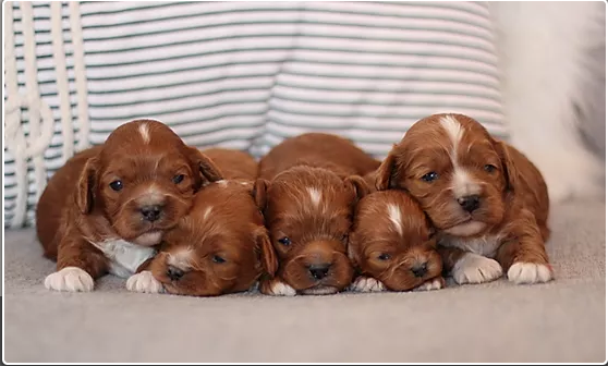 Check Out These Adorble Puppies On Our Website In 2020 Pup Puppies For Sale Cavalier King Charles Spaniel