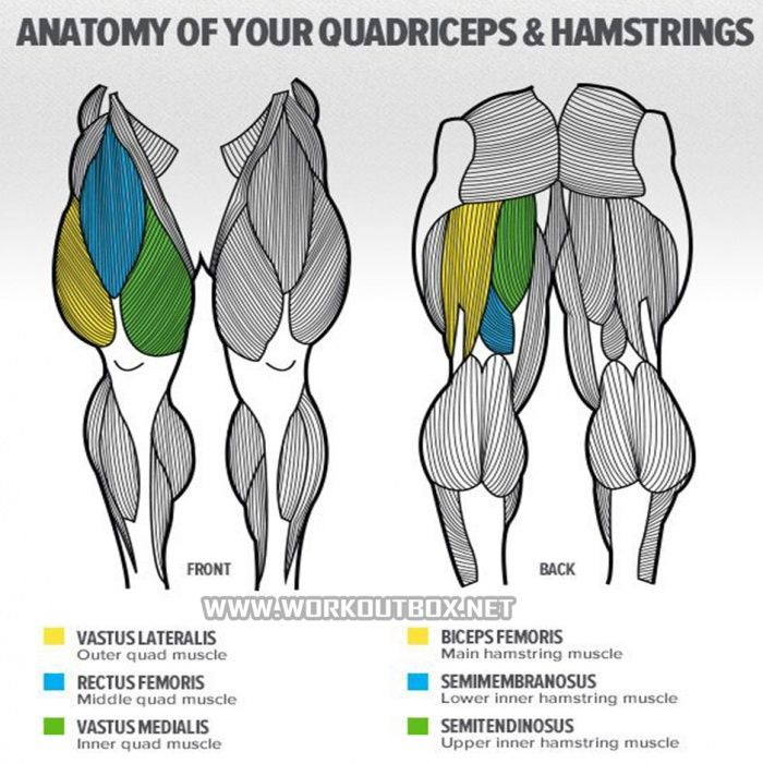Anatomy Of Your Quadriceps Hamstrings Fitness Bodybuidling