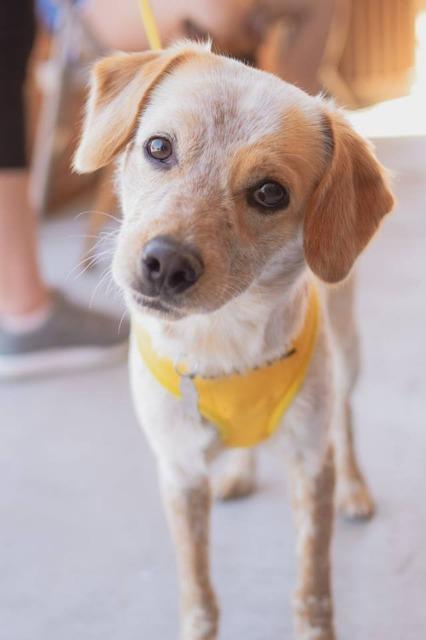Adopt Cooper On Dog Adoption Brittany Spaniel Dogs Help
