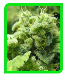 onlineshop fuer legale hanfsamen in der schweiz...http://buy-hemp-seeds.com/