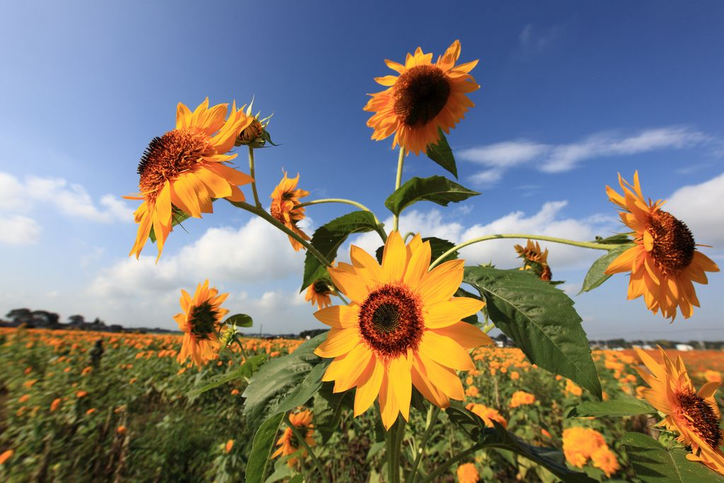 https://flic.kr/p/6VbrJG | Sunflower / Helianthus / 向日葵(ひまわり) | Akeno Sunflower Festival, Chikusei-shi(city) Ibaraki-ken(Prefecture), Japan  茨城県筑西市(いばらきけんちくせいし) あけのひまわりフェスティバル