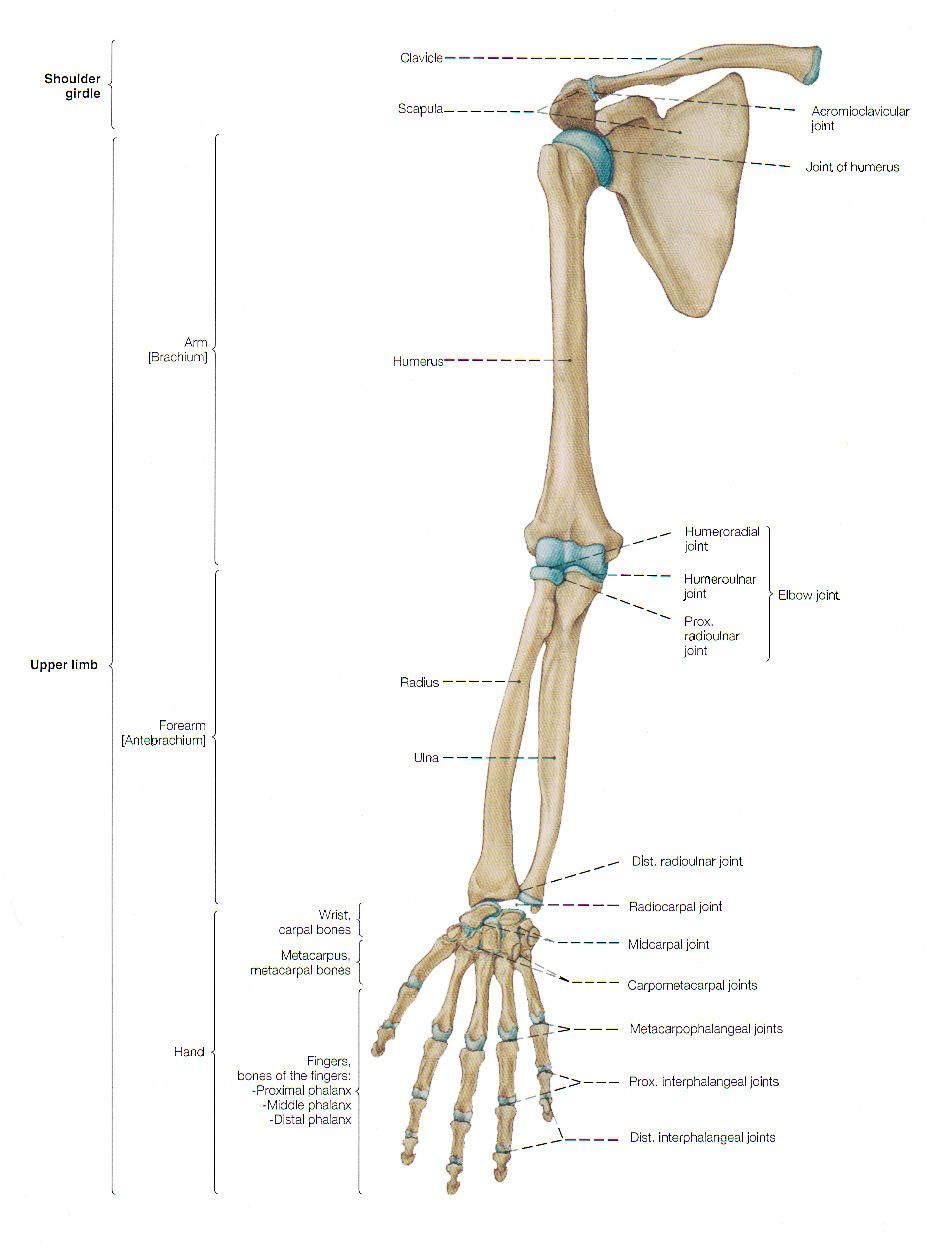 Arm Anatomy Anterior Frontal View Pinteres