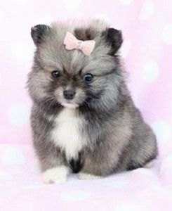 How Much Does Rolly Teacup Dog Cost