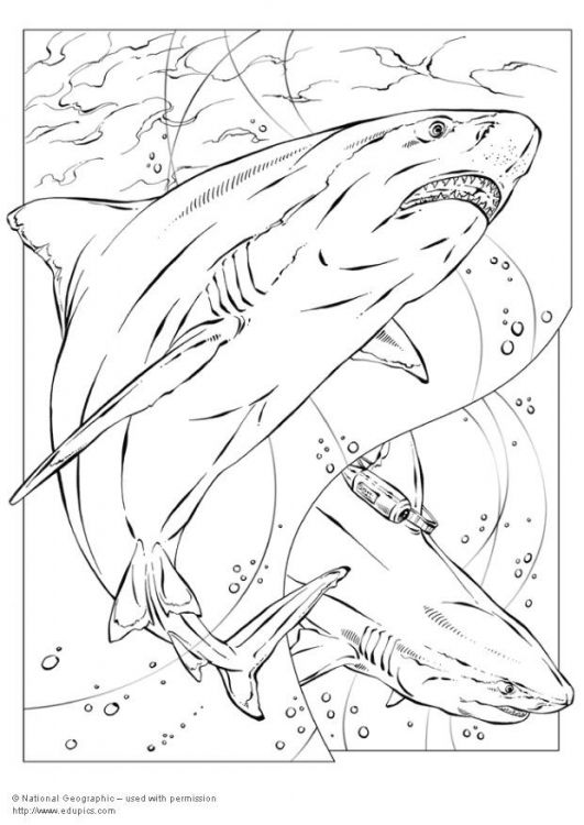 Image Detail For Coloring Page Bull Shark Img 5735 Shark Coloring Pages Coloring Pages Animal Coloring Pages