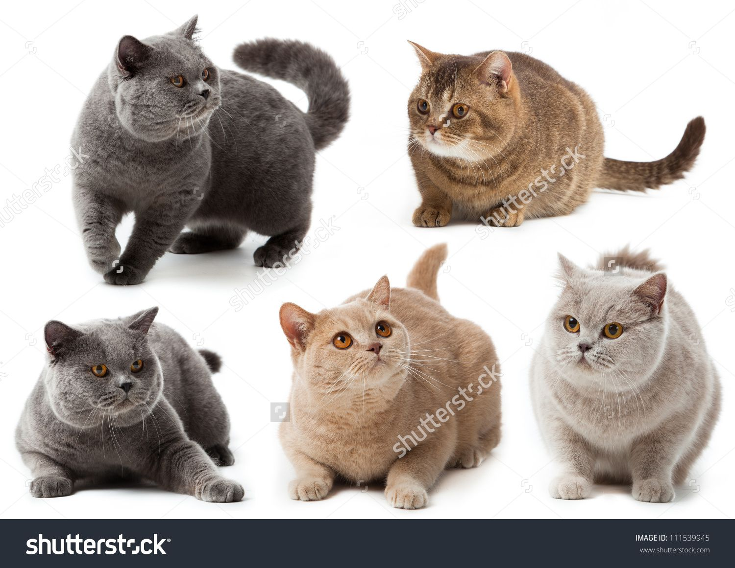 British Cat Collection British Shorthair Cat A White