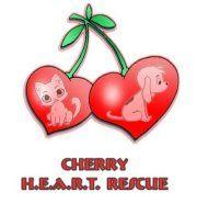 Cherry H.E.A.R.T. Rescue Wichita Falls, TX Pitbull