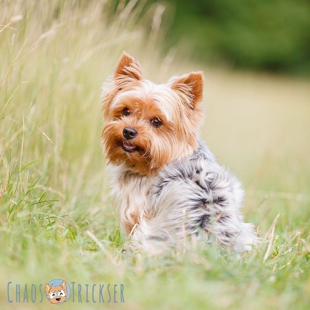 Erste Zähne?! Jetzt schon? Frieda ist gerade mal fast 5 Monate alt. Wow die Zeit vergeht!   Mit 6-8 Monate kommen für gewöhnlich die ersten Zähne und dann die unteren Schneidezähne... tja bei Frieda kommen die Eckzähne! ...sie will wohl zum Vampir werden!  Morgen gehts für Frieda zum Impfen mal gespannt was der Doc zu den Zähnen sagt!   #Hund #Hundeliebe #yorkie #yorkshireterrier #terrier #yorkiegram #yorkiedeutschland #terrierliebe #hundefotos #hundetricks #jena #germanblogger #hundeblog…