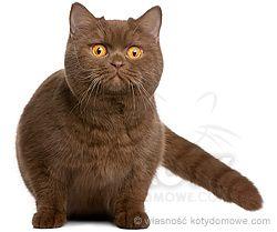 Kot Brytyjski Krotkowlosy Ta Rasa Prawdopodobnie Powstala Z Domowych Kotow Przywiezionych Na Wyspy Brytyjskie Cats Animals All About Cats