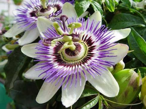 Plant Lovin Passionfruit Passion Fruit Flower Passion Flower Passion Vine