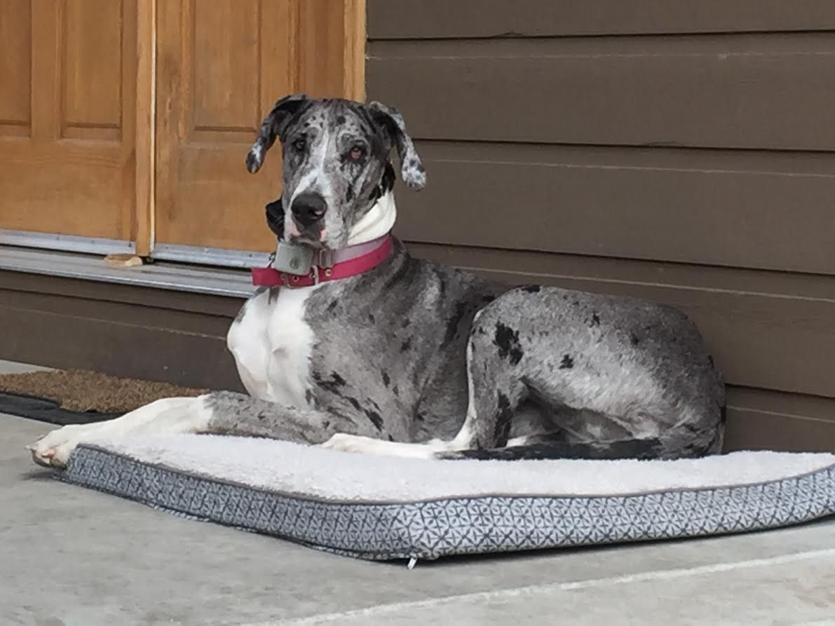 Miracle Is A Beautiful Mantle Marked Merle Great Dane Puppy Living