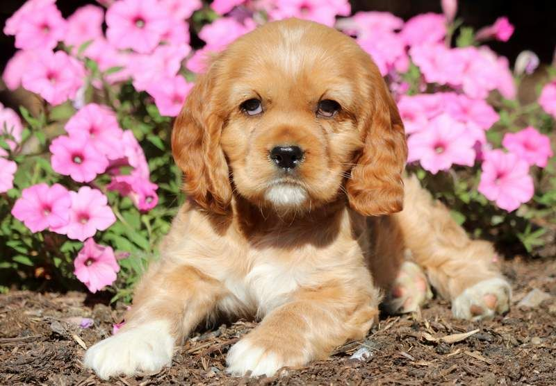 Pammy Cocker Spaniel Puppy For Sale Keystone Puppies Cocker