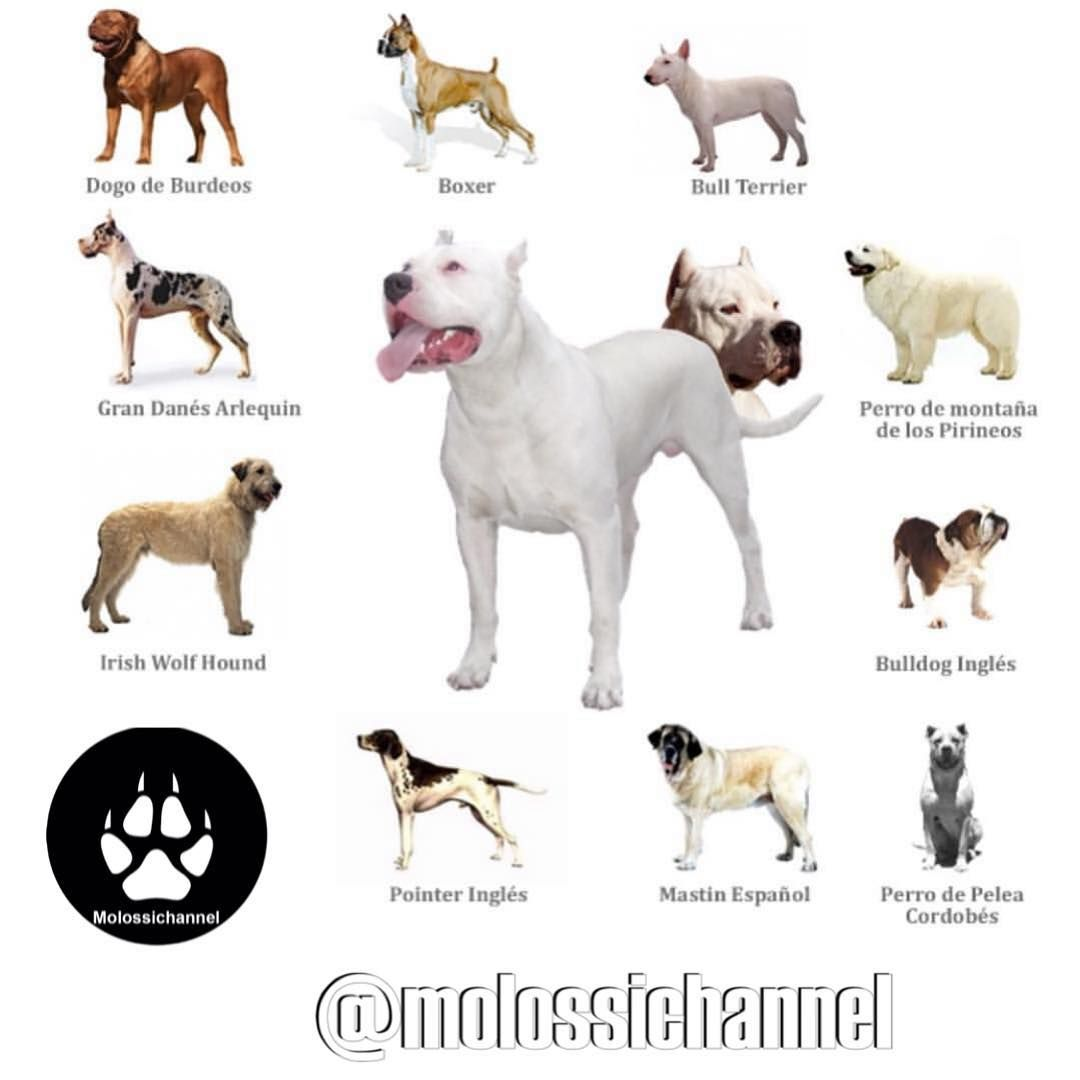 Molossichannel On Instagram Dogo Argentino Breed Mix