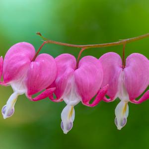 Asian Bleeding Heart Clickasnap Bleeding Heart Flower Bleeding Heart Blossom Flower