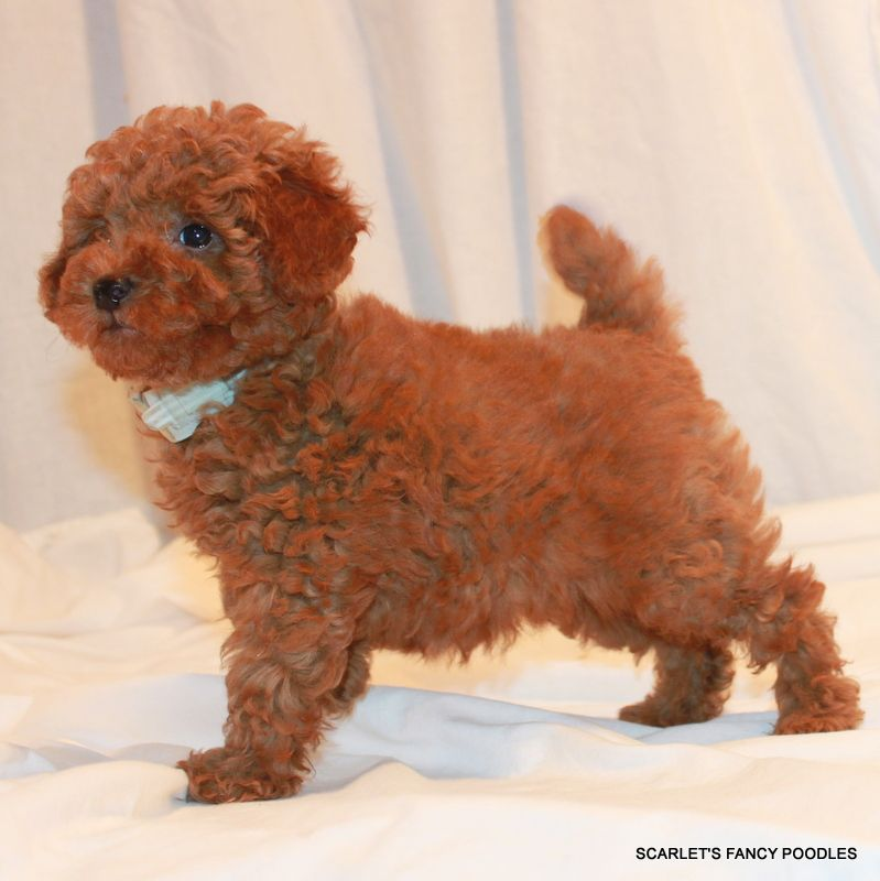 Soleil S Boy From Scarlet S Fancy Poodles Beautiful Red Teddy