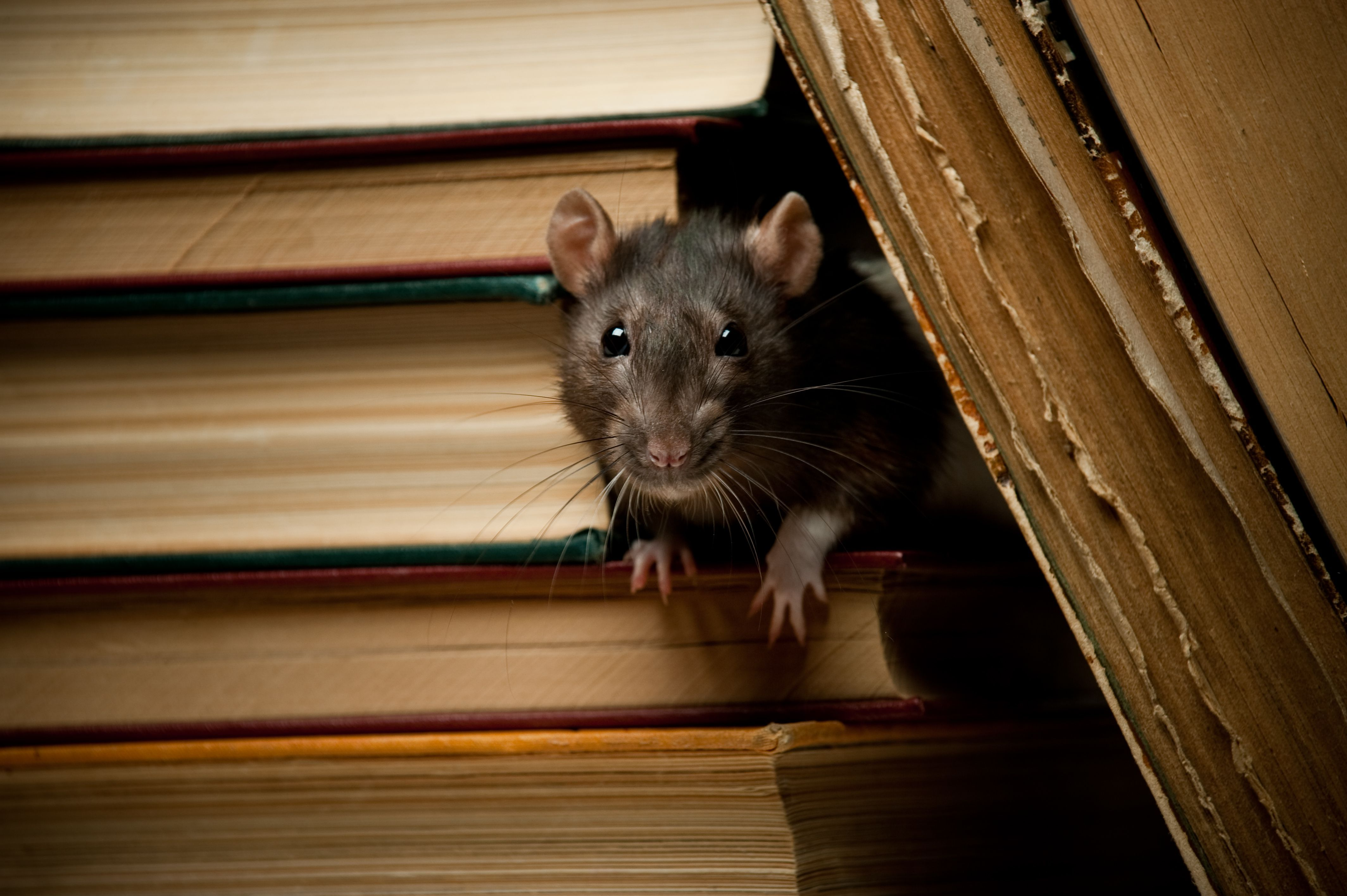 Discover how to know if you have rats in your home rats