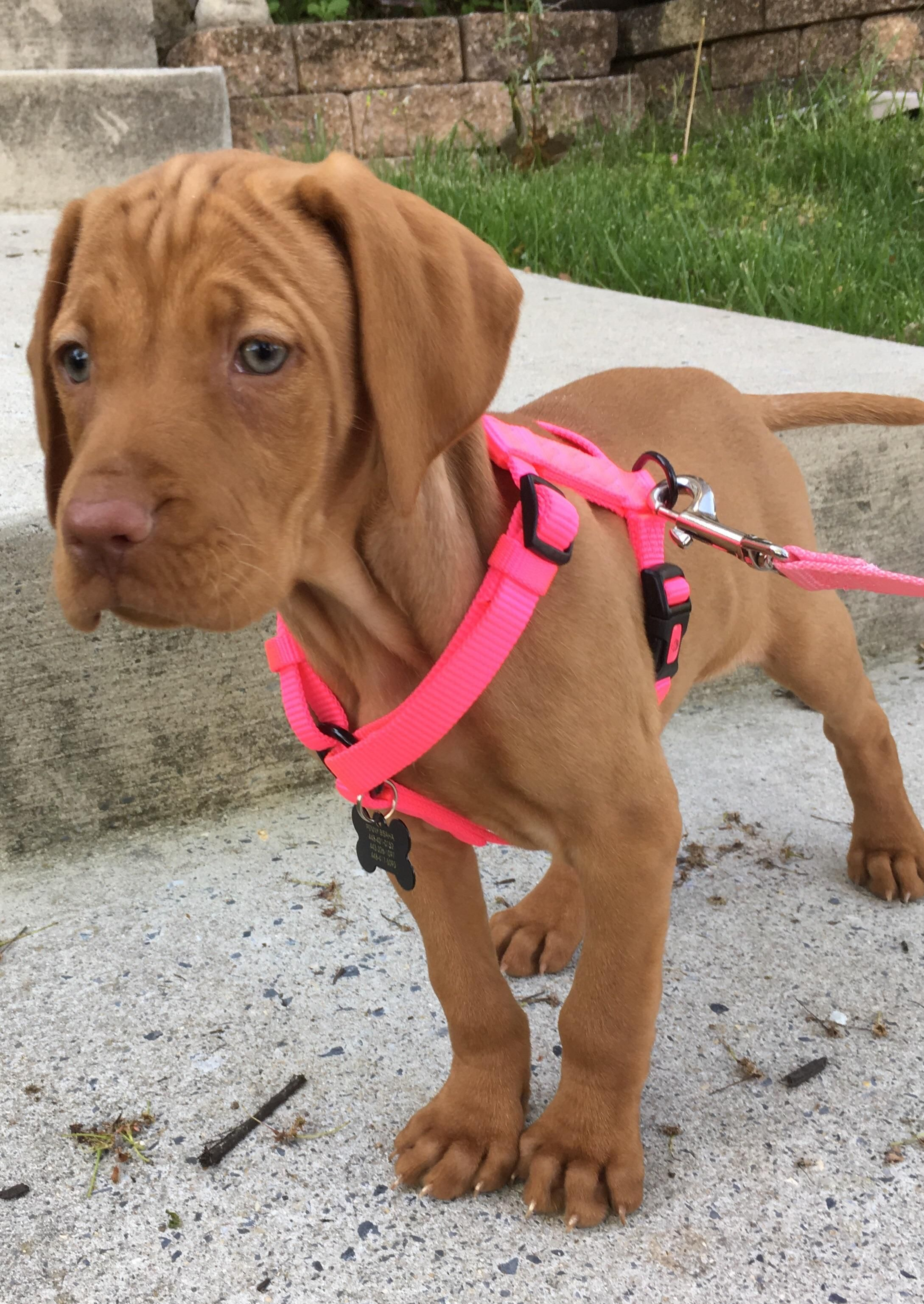 This Is Penny Our 9 Week Old Vizsla Puppy Https Ift Tt 2htiwq3