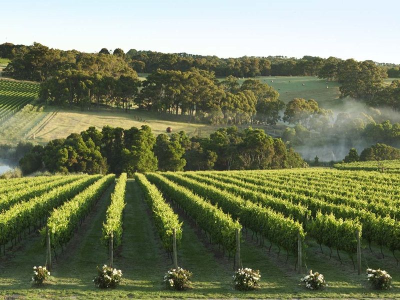 Wine Regions near Melbourne Montalto Vineyard and Olive