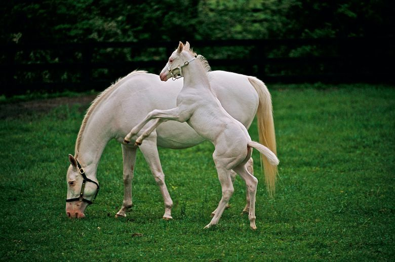Patchen Beauty and the White Fox as a foal - white thoroughbreds