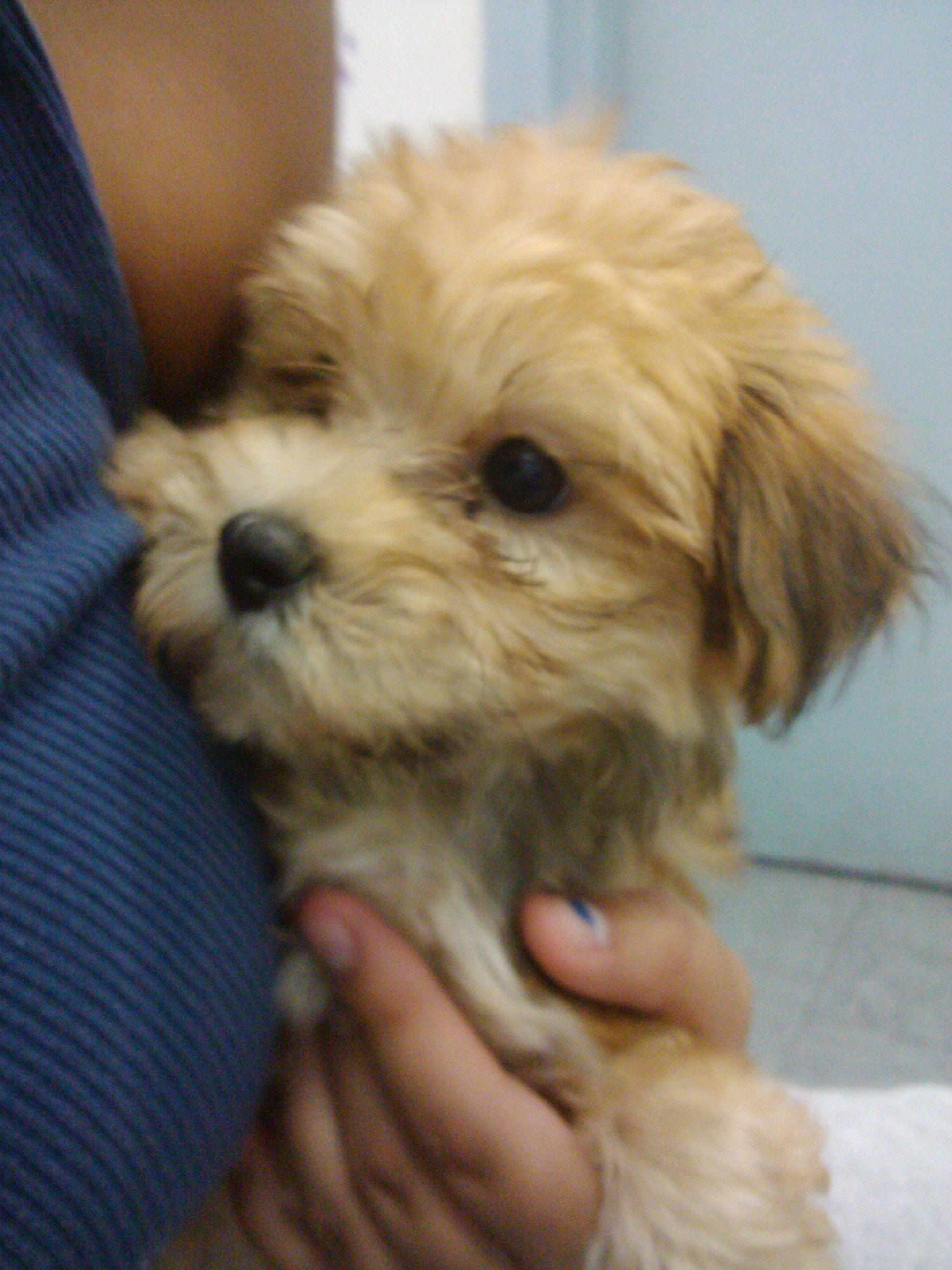Teddy bear puppies for sale in ia