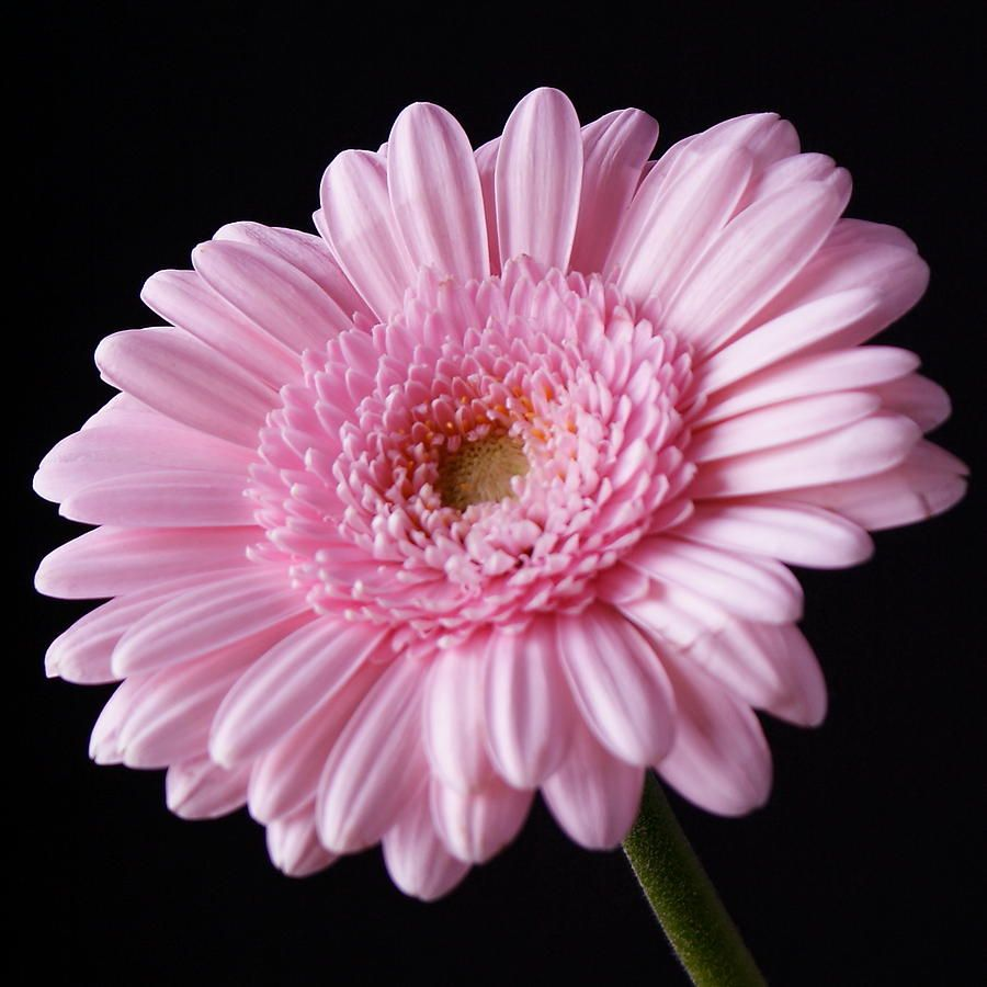 Gerbera Daisy Google Search Flowers Pinterest Gerbera