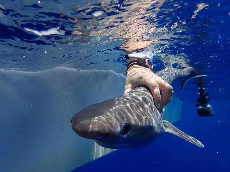 Scientists Identify New Species Of Elusive Deep Sea Shark
