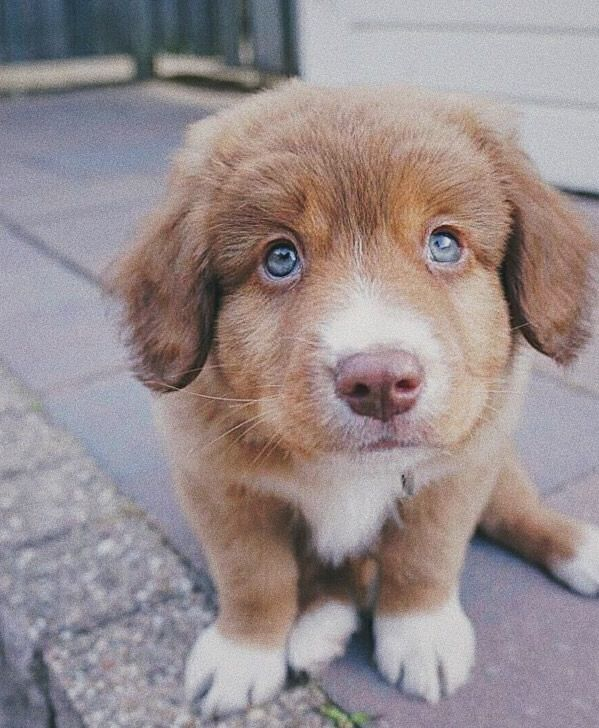 Nova Scotia Duck Tolling Retriever Funny Dog Faces Puppy Dog Pictures Funny Dogs
