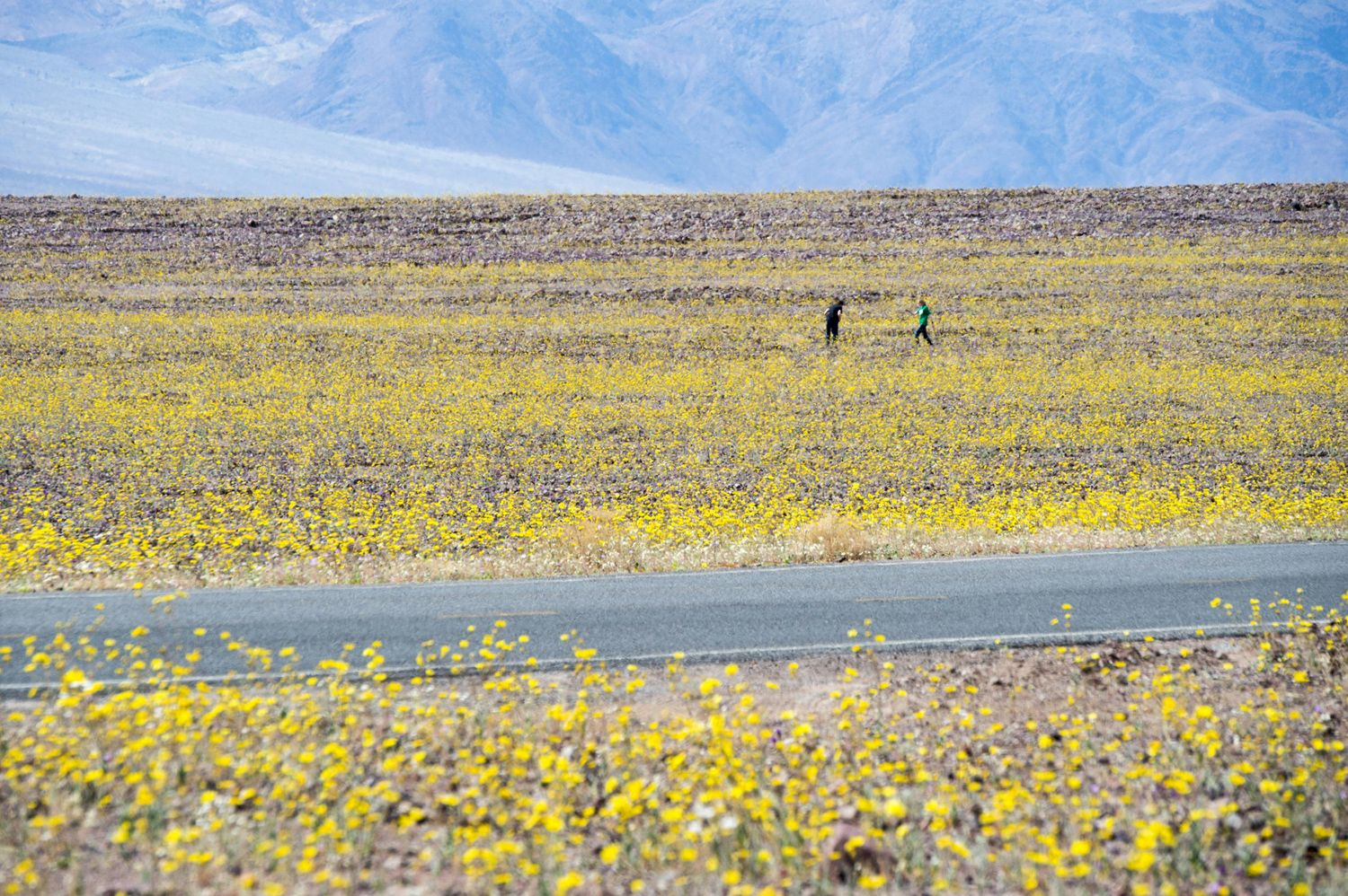 "Yellow wildflowers line the highway through Death Valley National Park, in Death Valley, California, on March 4, 2016. Unusally heavy rainfall in October trigged a ""super bloom,"" carpeting Death Valley National Park, the hottest and driest place in North America, in gold, purple, white, and pink."