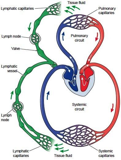 Lymphatic Circulation Lymph travels through a network of ...