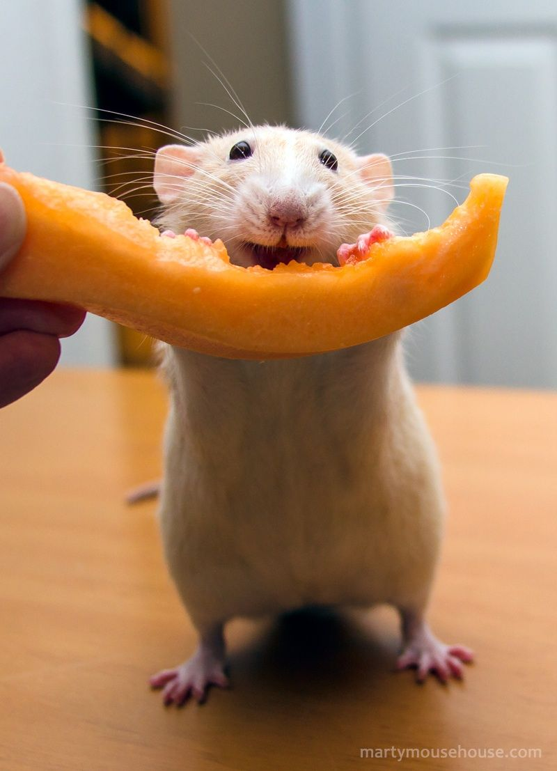 Look At That Smile Can He Be Any Cuter With His Canaloop Follow His Daily Antics On Facebook Https Www Facebook Com With Images Pet Rats Cute Rats Cute Small Animals