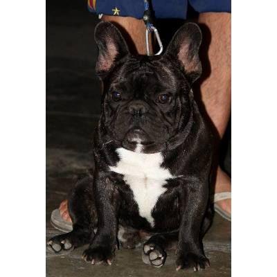 Bulldog Francés  Servicio De Monta Full Pedigree