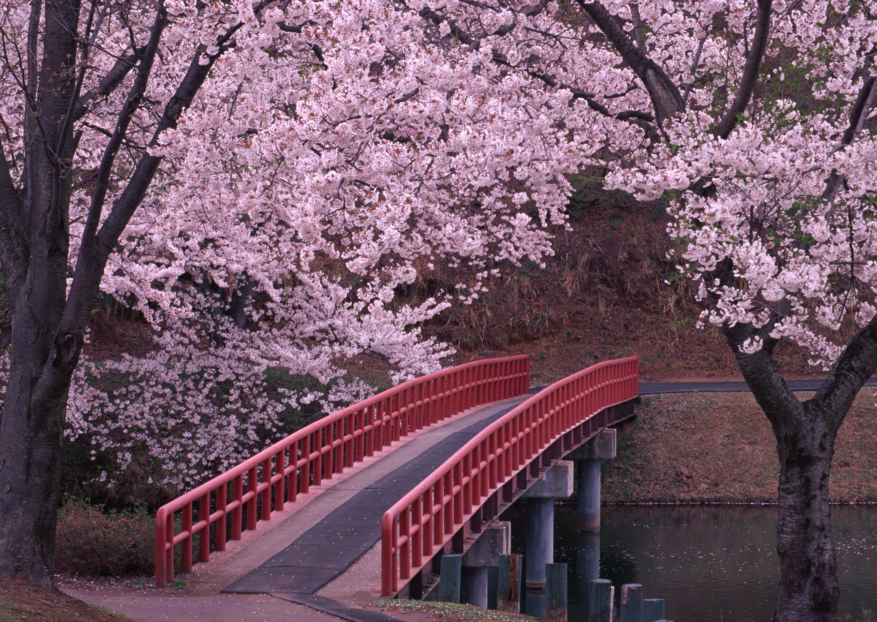 sakura japan gardens pinterest japan bridges and japan garden